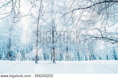 Winter landscape with falling snow, wonderland winter forest with snowfall over winter grove. Snowy winter scene with Christmas and New Year mood, winter snowy park