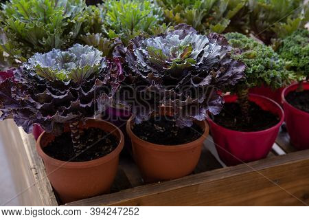 Potted Ornamental Cabbage Or Brassica Oleracea In A Garden Shop In November.