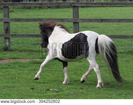 A Cute Shetland Pony Trots At Liberty In A Paddock.