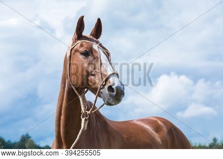 Red Thoroughbred Thoroughbred Horse In A Wicker Bridle Against The Sky.