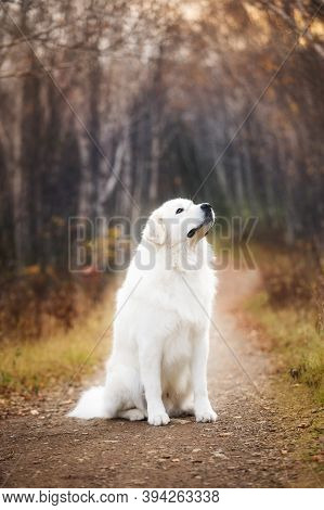 Portrait Of Big And Beautiful White Maremma Dog Sitting In The Autumn Forest