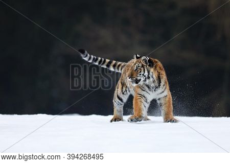 Siberian Tiger Walk On Snow. Beautiful, Dynamic And Powerful Animal. Typical Winter Environment. Tai