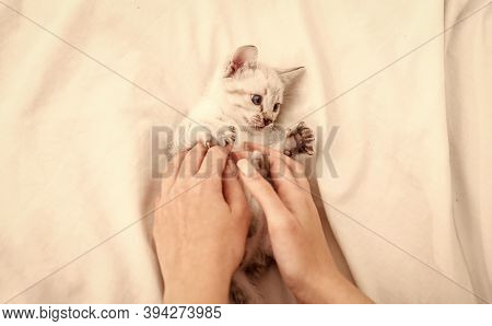 Cute Kitten In Hands Of Woman. Girl Is Playing With Hands With Nice Kitten. White Fluffy Kitten On B