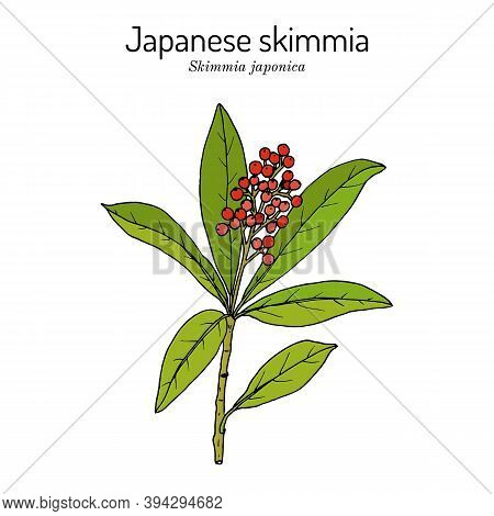 Japanese Skimmia Skimmia Japonica , Evergreen Plant. Hand Drawn Botanical Vector Illustration