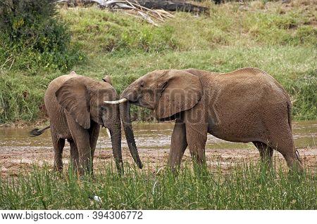 African Elephant, Loxodonta Africana, Youngs Standing Near River, Samburu Park In Kenya
