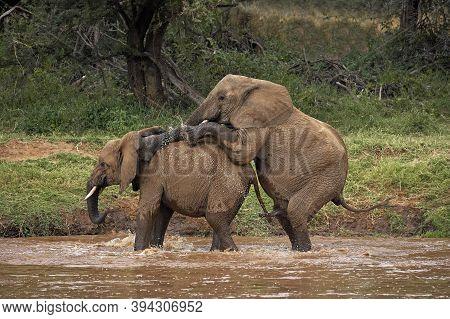 African Elephant, Loxodonta Africana, Pair Mating In River, Samburu Park In Kenya