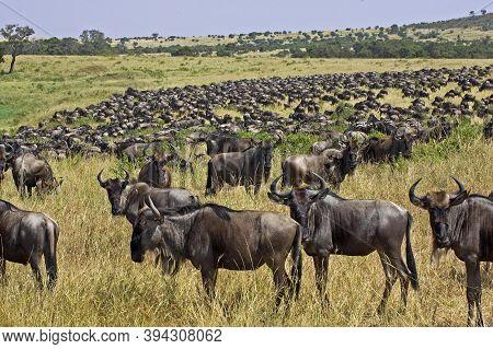 Blue Wildebeest, Connochaetes Taurinus, Herd Migrating, Masai Mara Park In Kenya
