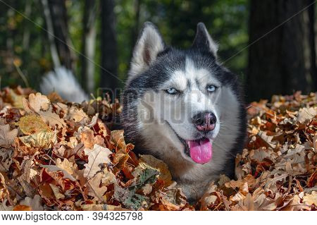 Blue-eyed Siberian Husky In Pile Of Autumn Yellow Leaves, Sunny Day.