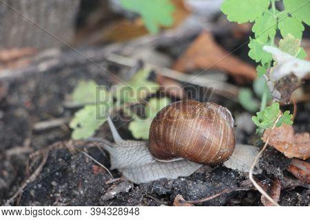 Helix Pomatia Also Roman Snail, Edible Snail Or Escargot Mones Via The Street