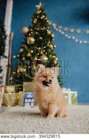 Small Red Dog On The Background Of A Christmas Tree. Pomeranian Poses At The Christmas Tree. Red Fur