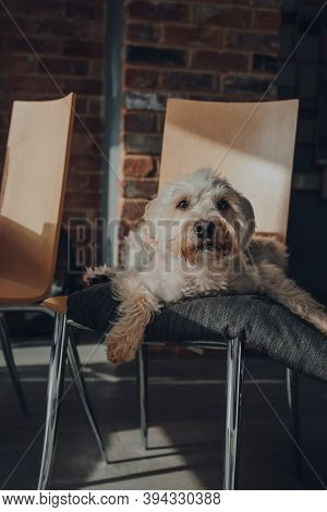Cute White Dog Laying On A Cushion On Top Of A Dining Chair At Home, Looking At The Camera, Selectiv