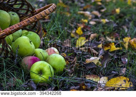 A Basket With Fresh Red And Green Apples Stands Near The Apple Tree On The Ground. Seasonal Tasty An