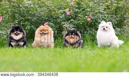 Portrait Of Fluffy Pomeranian Spitz Dogs Sitting On Green Grass Smiling And Posing At Nature