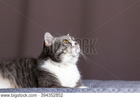Gray Cat Lies On Bed. The Pet Comfortably Settled To Sleep Or To Play And Looks Up.
