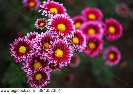 Red-purple With Yellow Center Chrysanthemums On A Blurry Background Close-up. Beautiful Bright Chrys