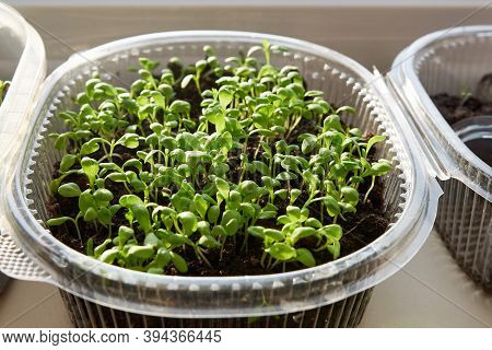 Green, Young Leaves And Sprouts Of Clove Flowers In A Plastic Pot On A White Kitchen Windowsill In S