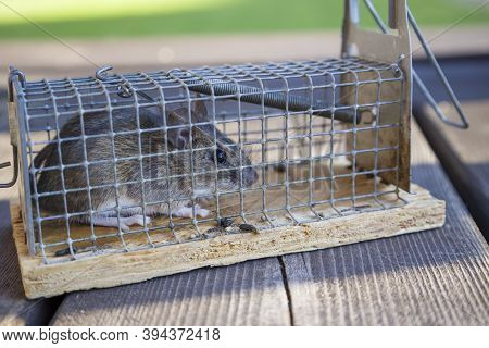 Mouse In Mousetrap, Rat Cage On Natural Background. Rodent And Pest Control Concept