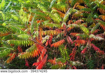 Leaves Of A Staghorn Sumac, Rhus Typhina, Changing Colors In Autumn