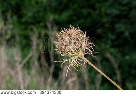 Wild Carrot With Enrolled Umbel Developing Seeds In Autumn Sunlight