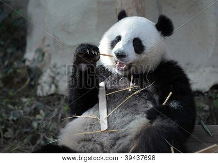 Giant panda (Ailuropoda melanoleuca) eating bamboo sticks