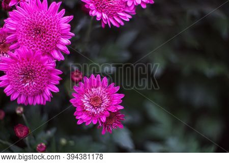 Purple Chrysanthemums On A Blurry Background Close-up. Beautiful Bright Chrysanthemums Bloom In Autu