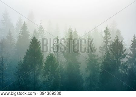 Spruce Trees Among The Morning Fog In Winter. Beautiful Nature In Cold Season. Moody Dramatic Weathe
