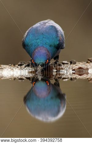 The Cape Starling, Red-shouldered Glossy-starling Or Cape Glossy Starling (lamprotornis Nitens) Drin
