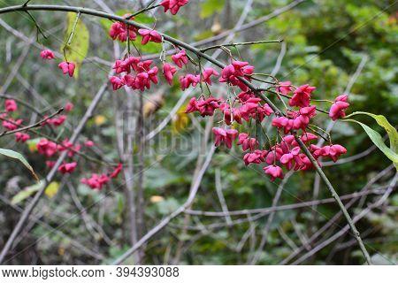 Spindle Shrub,euonymus Europaeus, Pfaffenhütchen In The Autumn Garden.