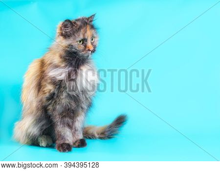 Fluffy Motley Adult Cat On A Turquoise Background