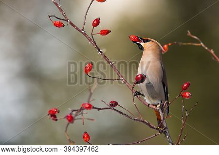 Solitary Bohemian Waxwing Feeding On Rosehip Bush Eating Red Berries