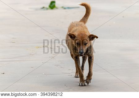 Stray Old Miserable Dog Walks On The Beach, Search For Anything To Eat.
