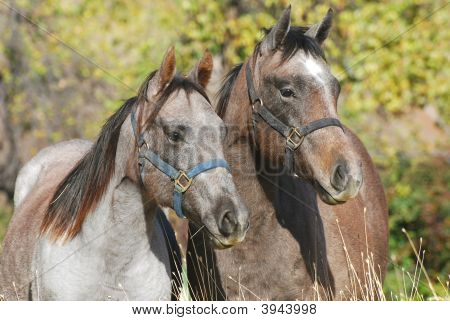 Two young blue roan colored quarter horses with halters on in pasture. poster