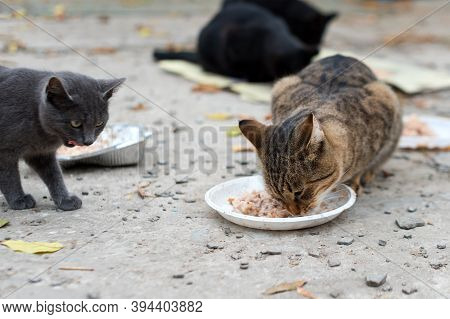 Stray Cats Eating On The Street. A Group Of Homeless And Hungry Street Cats Eating Food Given By Vol