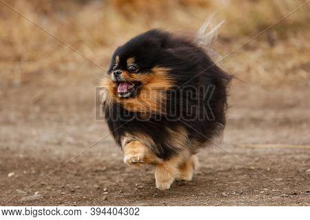 Fluffy Dog breed Pomeranian Stands