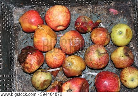 Malus Domestica, Septic Or Bad Apple In The Bucket.