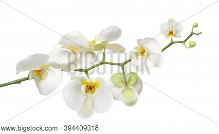 White Orchid Stem With Blooming Flowers Isolated On White Background