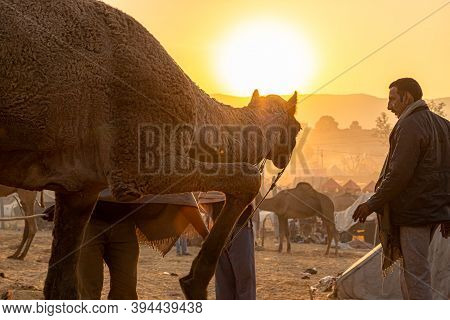 November 2019 Pushkar,rajasthan:the Owner With His Camel At Early Morning With Beautiful Sunrise At