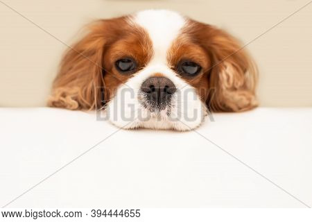 Funny Fluffy Dog Cavalier King Charles Spaniel Looks Hopefully At The Empty Copy Space For Text On A