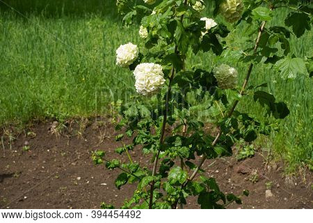 Small White Inflorescences Of Viburnum Opulus Sterile In May