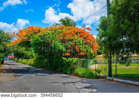 Poinciana Tree In Bloom By The Roadside On A Street Of George Town, Grand Cayman