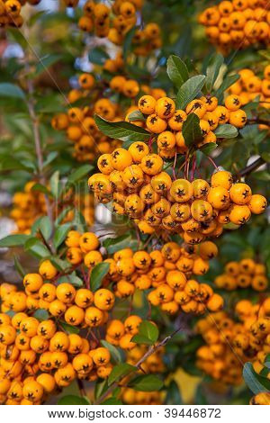 Berries of Pyracantha coccinea (firethorn), shot taken outside poster