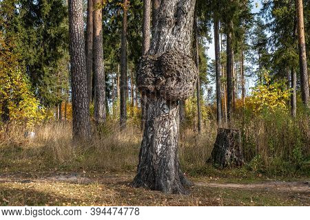 The Trunk Of An Old Birch With A Bizarre Growth In The Autumn Forest.