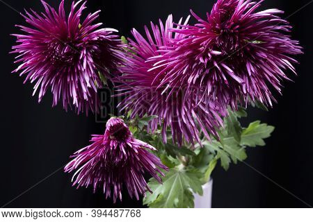 Purple Chrysanthemums Autumn Flowers On Dark Background