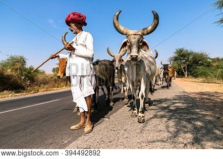 November 2019 Pushkar,rajasthan:a Rajasthani Shepherd On The Way With Its Herd Of Cows.