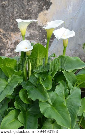 Beautiful Fresh White Flowers And Green Leaves Of Zantedeschia Plant, Commonly Known As Arum Or Call