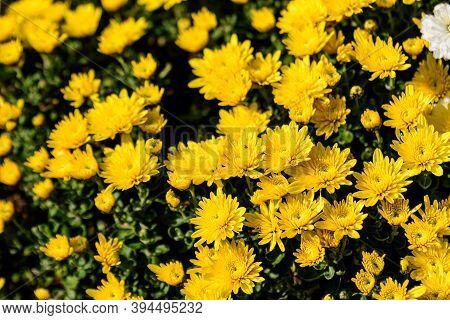 Many Vivid Yellow Chrysanthemum X Morifolium Flowers In A Garden In A Sunny Autumn Day
