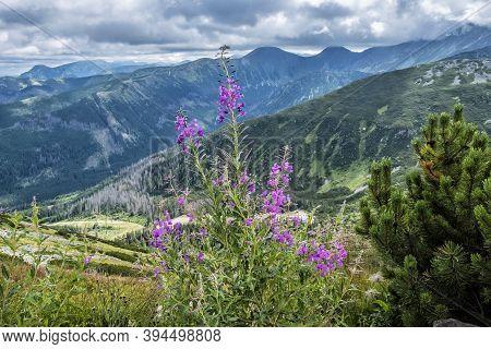 Flowers Scene, Western Tatras, Slovak Republic. Hiking Theme. Seasonal Natural Scene.