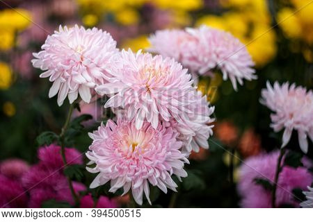 Pink Chrysanthemums On A Blurry Background Close-up. Beautiful Bright Chrysanthemums Bloom In Autumn