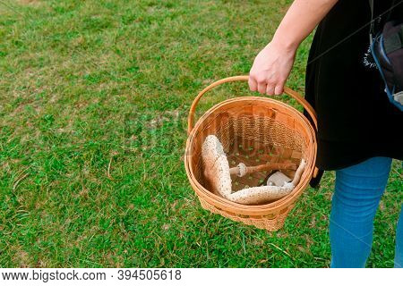 Unrecognizable Person From Behind Carries A Wicker Basket With Edible Mushrooms Inside. Walk In The