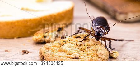 Ordinary American Cockroach, Walking On Table With Scraps Of Food, Feeding On Crumbs. Concept Of Lac